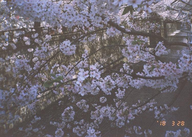 るんちゃん フィルムカメラで夜桜を撮影
