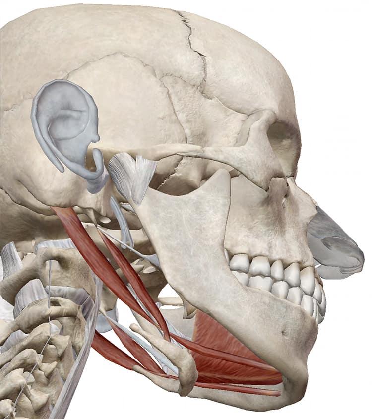 あご下の筋肉